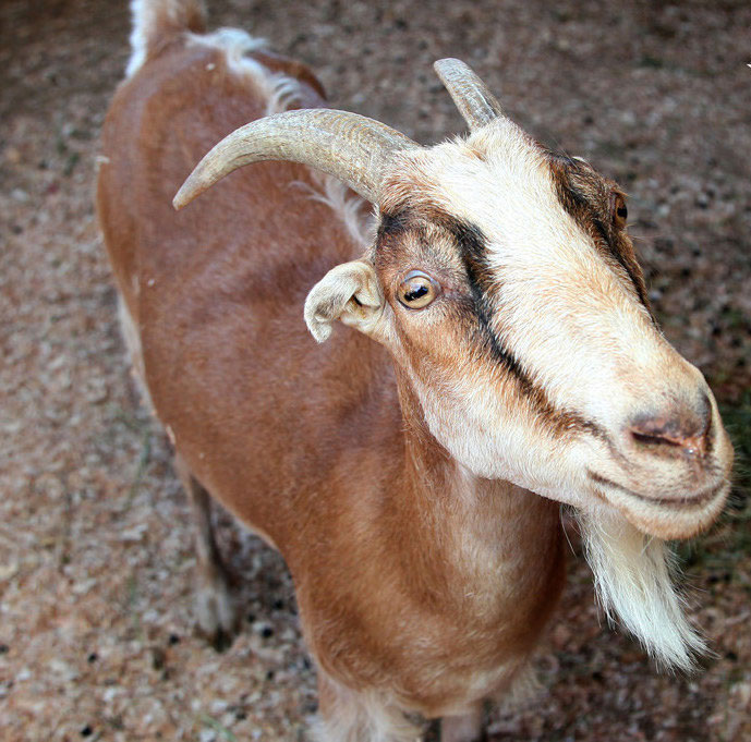 Pacific Symphony to serenade goat
