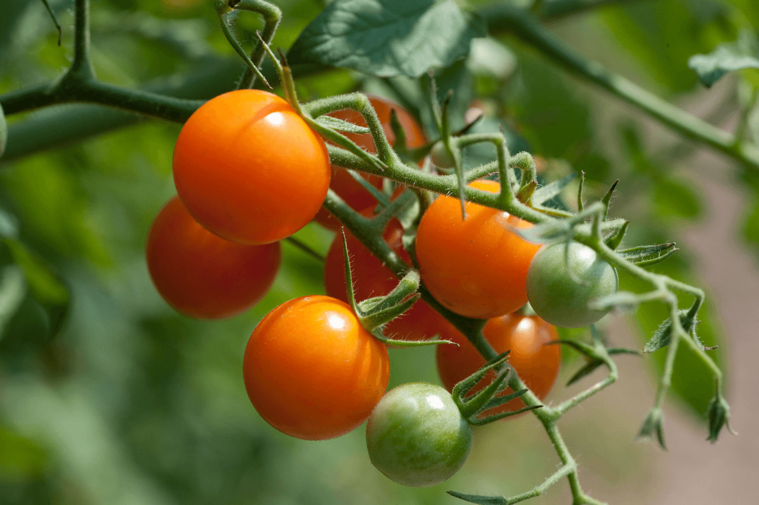H&G Sherman tomatoes